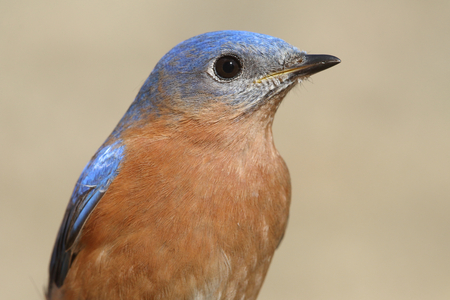 bluebird: Close-up of a Male Eastern Bluebird (Sialia sialis) in winter Stock Photo