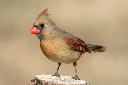 female cardinal: Female Northern Cardinal (cardinalis cardinalis) on a branch Stock Photo