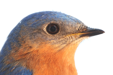 bluebird: Close-up of a Male Eastern Bluebird (Sialia sialis) with a white background Stock Photo