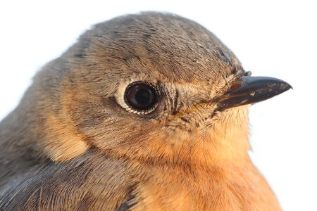 eastern bluebird: Close-up of a female Eastern Bluebird (Sialia sialis) with a white background