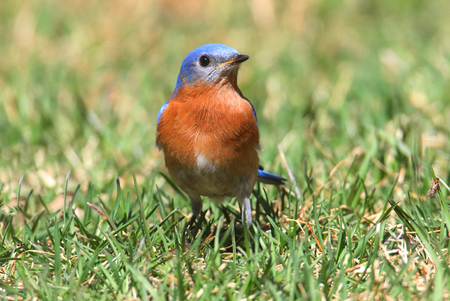 bluebird: Male Eastern Bluebird (Sialia sialis) on a lawn