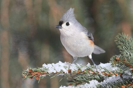 tufted: Tufted Titmouse (baeolophus bicolor) on a tree in with snow