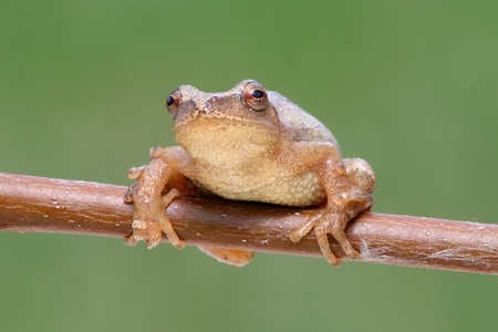 Spring Peeper (Pseudacris crucifer) on a branch with a green background Stock Photo - 39657167