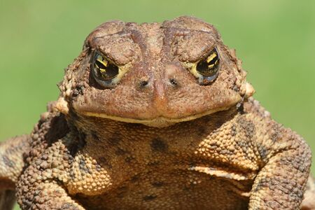 bufo toad: Female American Toad (Bufo americanus) with a green background