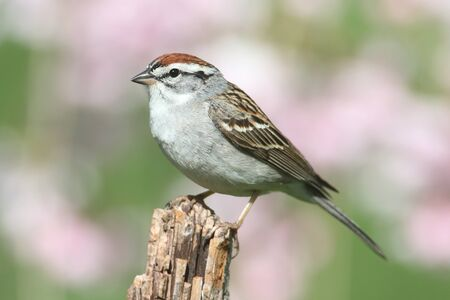 chipping: Chipping Sparrow (Spizella passerina) on a branch with a green background