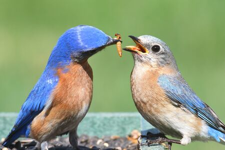 bluebird: Male Eastern Bluebird (Sialia sialis) feeding a female on a feeder with a green background