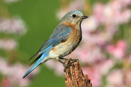 eastern bluebird: Female Eastern Bluebird (Sialia sialis) on a perch with flowers Stock Photo