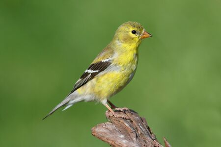 American Goldfinch Carduelis tristis on a branch with a green background