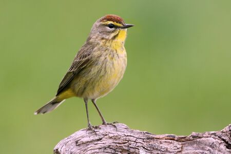 warbler: Palm Warbler Dendroica palmarum with a green background