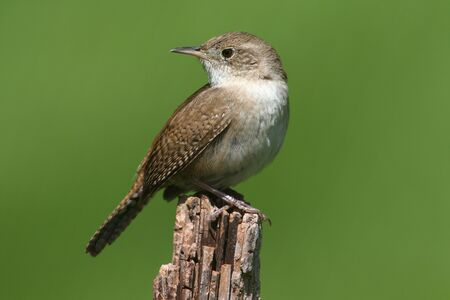 troglodytes: House Wren (troglodytes aedon) on a branch with a green background