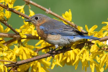 eastern bluebird: Female Eastern Bluebird (Sialia sialis) on a perch with forsythia flowers