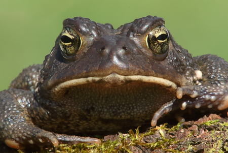 bufo toad: Male American Toad (Bufo americanus) with a green background Stock Photo