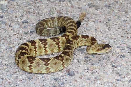 serpiente de cascabel: Negro de cola serpiente de cascabel (Crotalus molossus) enrollado a la huelga en el desierto de Arizona
