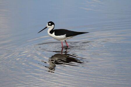 shorebird: Black-necked Stilt (Himantopus mexicanus) in blue water