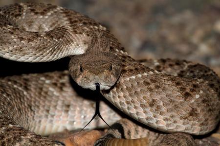 serpiente de cascabel: Mojave serpiente de cascabel (Crotalus scutulatus) enrollado a la huelga. La serpiente de cascabel de Mojave es considerado por muchos como la serpiente más mortal en los Estados Unidos. Foto de archivo