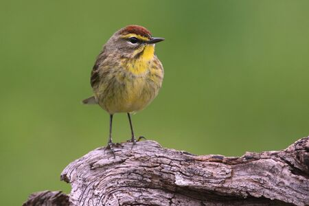 warbler: Palm Warbler (Dendroica palmarum) with a green background