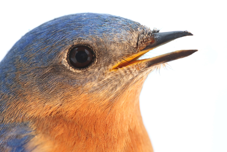 eastern bluebird: Close-up of a Male Eastern Bluebird (Sialia sialis) with a white background Stock Photo