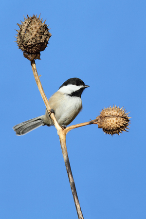 chickadee: Black-capped Chickadee (poecile atricapilla) on a perch with a blue sky background
