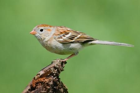 Veld Sparrow (Spizella pusilla) op een tak met een groene achtergrond