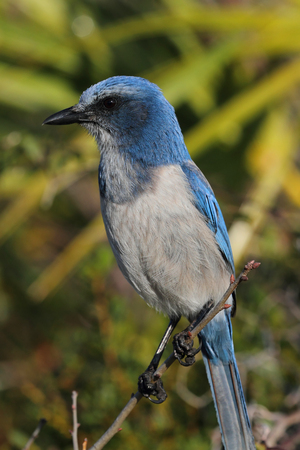 endangered: Endangered Florida Scrub-Jay (Aphelocoma coerulescens) perched on a branch with a green background