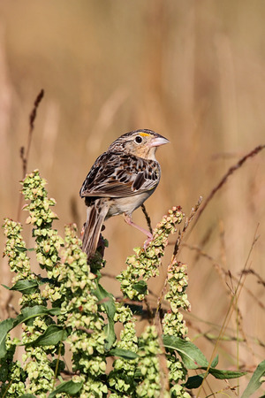 threatened: Threatened Grasshopper Sparrow (Ammodramus savannarum) perched on a plant stalk