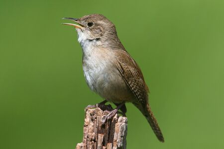 troglodytes: House Wren (troglodytes aedon) on a branch singing with a green background