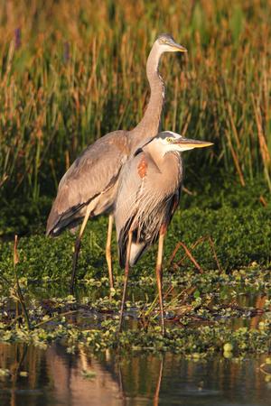 ardea: Great Blue Herons (Ardea Herodias) standing in a marsh Stock Photo