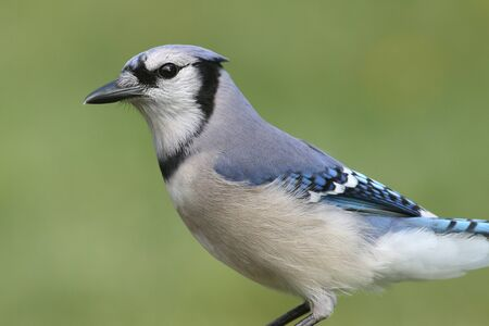 blue jay bird: Blue Jay (corvid cyanocitta) with a colorful background