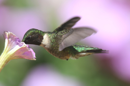 ruby throated: Male Ruby-throated Hummingbird (archilochus colubris) in flight with a flower and a colorful background