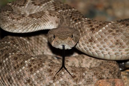 ウエスタン Diamondback ガラガラヘビ (Crotalus atrox) コイルを打つ