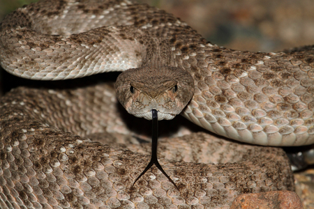 Western Diamondback Rattlesnake (Crotalus atrox) coiled to strike Stock Photo