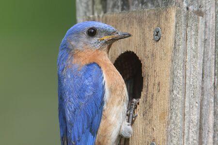 male animal: Male Eastern Bluebird (Sialia sialis) at a birdhouse