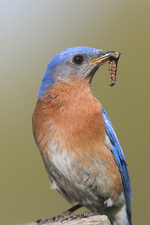 eastern bluebird: Male Eastern Bluebird (Sialia sialis) with a worm and a green background