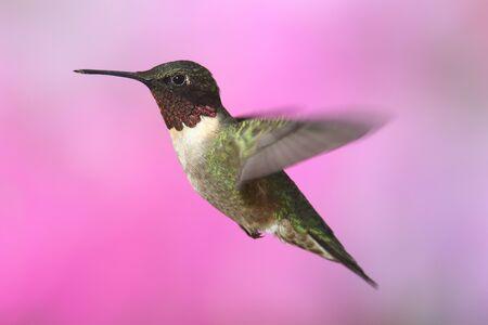 hummingbird: Male Ruby-throated Hummingbird (archilochus colubris) in flight colorful background