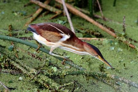 everglades: Least Bittern (Ixobrychus exilis) in the Florida Everglades