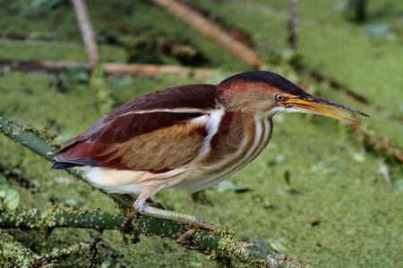bittern: Least Bittern (Ixobrychus exilis) in the Florida Everglades