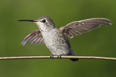 Annas Hummingbird (Calypte anna) perched on a perch with a green background