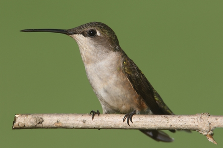 ruby throated: Female Ruby-throated Hummingbird (archilochus colubris) on a perch with a colorful background Stock Photo