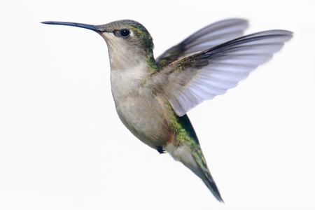 Female Ruby-throated Hummingbird (archilochus colubris) in flight isolated on white