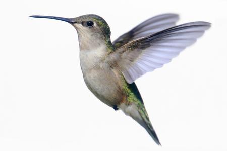 Mujeres Ruby-throated Hummingbird (Archilochus colubris) en vuelo aislado en blanco