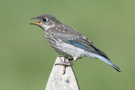 Baby Eastern Bluebird (Sialia sialis) on a fence