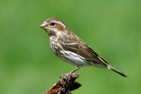 birds in tree: Female Purple Finch (Carpodacus purpureus) perched with a green background