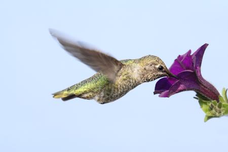 anna: Annas Hummingbird (Calypte anna) in flight with a flower and a blue background