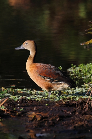 fulvous: Fulvous Whistling Duck (Dendrocygna bicolor) in the Florida Everglades