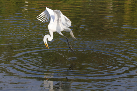 everglades: Great Egret (Ardea alba) in flight reaching for a fish in the  Florida Everglades Stock Photo