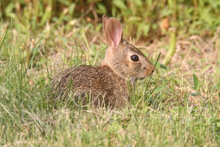 animal ear: Eastern Cottontail Rabbit (Sylvilagus floridanus) in a grassy field Stock Photo