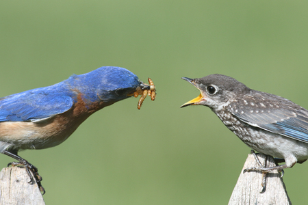 bird: Male Eastern Bluebird (Sialia sialis) feeding his hungry baby