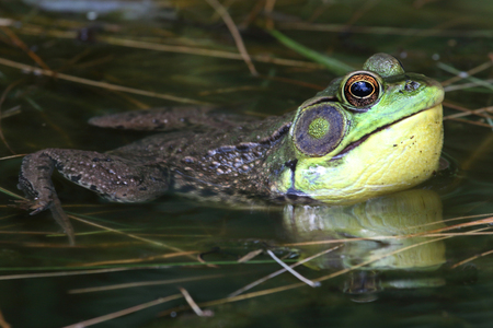 rana: Green Frog (Rana clamitans) in a Pond with a bright yellow throat