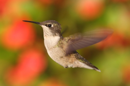 ruby throated: Female Ruby-throated Hummingbird (archilochus colubris) in flight with a colorful floral background Stock Photo