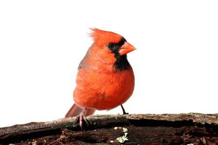 cardinal: Male Northern Cardinal (Cardinalis)  Isolated on a white background